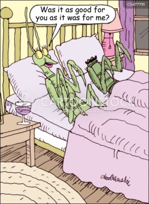 Praying mantises in bed. The female is asking her partner if it was as good for him as it was for her. The male is missing his head.